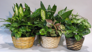 dish gardens assorted plants in baskets {variety of sizes} in Lebanon, NH | LEBANON GARDEN OF EDEN FLORAL SHOP