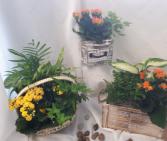 Dish Gardens Plants