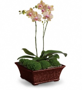 Divine Orchid **may be substituted by similar container**