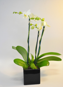 Divine Orchid Planter
