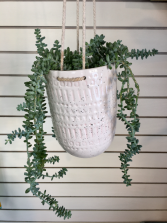 Donkey's Tail  Hanging Succulent