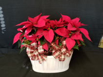 "Double 6"" Poinsettia in Basket"