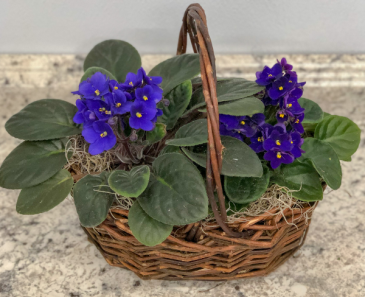 Double African Violet Blooming Plant