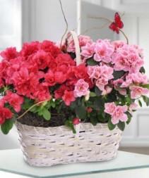 Double Azalea  Plant Basket