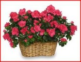 Double Azalea Basket Blooming Plant