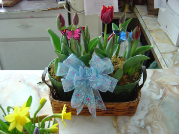 Double basket of Tulips or Hyacinths pots  Select price 1 for 2 tulip pots, price 2 for 2 hyacinth, price 3 for one of each!