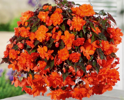 DOUBLE BEGONIA   HANGING BASKET