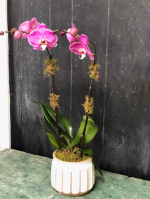Double Bloom Orchid