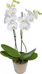 Double Bloom Orchid Plant