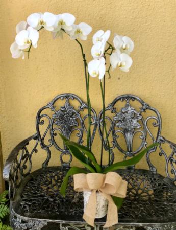 Double cymbidium Orchid Plant