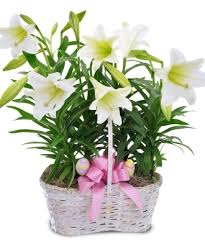 double easter lily in basket plant