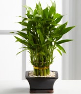 Double Lucky Pyramid Bamboo plant