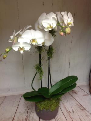 Double orchid  in Easton, CT | Felicia's Fleurs