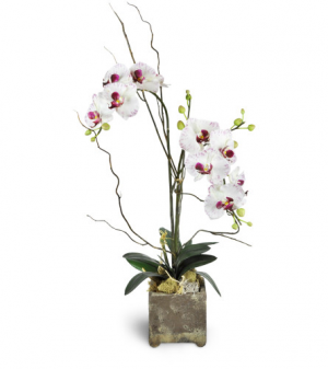 Double Orchid Plant in Port Dover, ON | Upsy Daisy Floral Studio