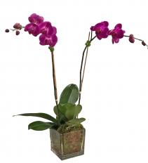 Double Purple Orchid in Glass Orchid Plant Arrangement