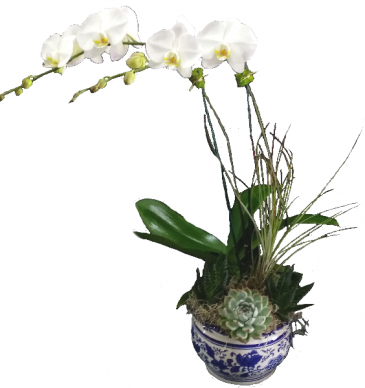 Double Orchid in Delft Dish Garden