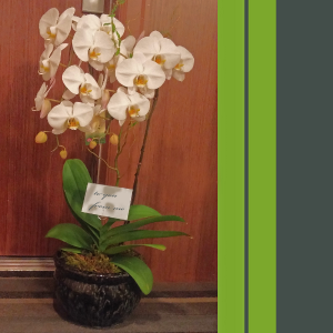 Double Orchid Plant in Brentwood Bay, BC | PETALS N BUDS BRENTWOOD BAY FLORIST