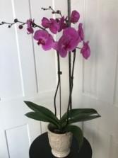 Double Orchid Plant Live Orchid Plant