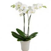 ORCHID PLANT IN SELF WATERING CONTAINER