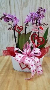 Double orchid plant  Plant