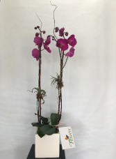 Double Orchid Potted Arrangement