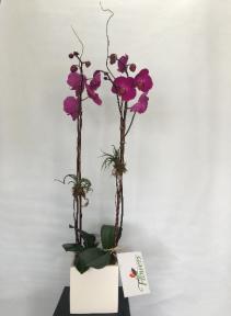 Double Orchid Potted Arrangement