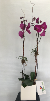 Double Orchid Potted Arrangement in Ceramic Pot