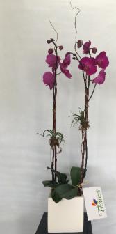 Double Orchid Potted Arrangement in Ceramic Pot