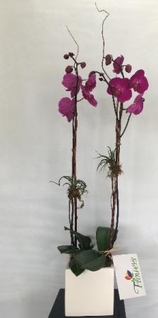 Double Orchid Potted Arrangement in Ceramic Pot Plant