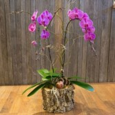Double Orchid Potted