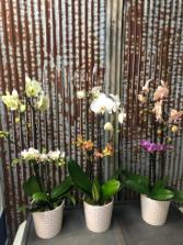 Double Orchids Orchids