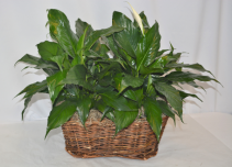 Double Peace Lily Plant Basket Spathiphyllum