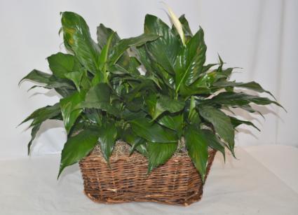 Double Peace Lily Plant Basket Spathiphyllum