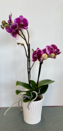 Double Phalaenopsis Orchid  Plant **Colors May Vary**