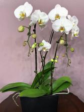 Double Phalaenopsis Planter Planter