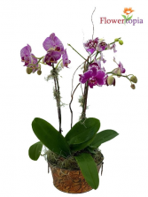 Tin Phalaenopsis Purple Mini Orchid Plant