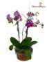 Tin Phalaenopsis Purple Mini Orchid Plant
