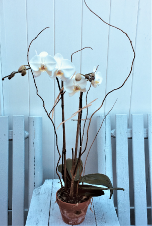 Double Phalenopsis Orchid Plant