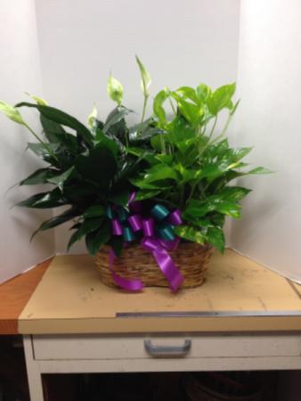 Double Plant Basket Plant