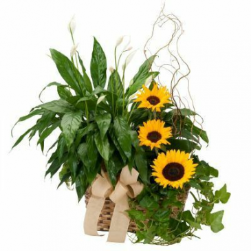 Double Plant Basket with Sunflowers