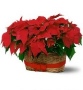 Double Poinsettia Basket Christmas