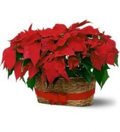Double Poinsettia Basket Christmas