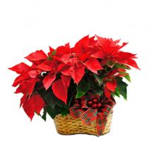 Double Poinsettia Basket Christmas Arrangement