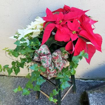 Double Poinsettia & English Ivy  Trio Basket