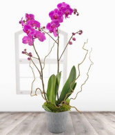 Double Purple Orchid Orchid Plant