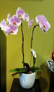 Double Pink Orchid Plant