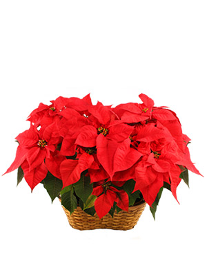 Double Red Poinsettia Blooming Plant in Bethel, CT | BETHEL FLOWER MARKET OF STONY HILL