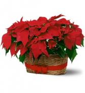 Double Red Pointsetta  Plants in Basket