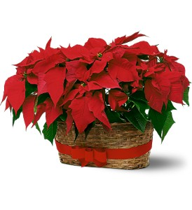Double Red Pointsetta  Plants in Basket