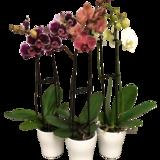 Double Spike Orchid Orchid plant